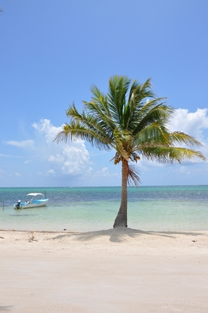 A single palm tree on one of Belize's white beaches.