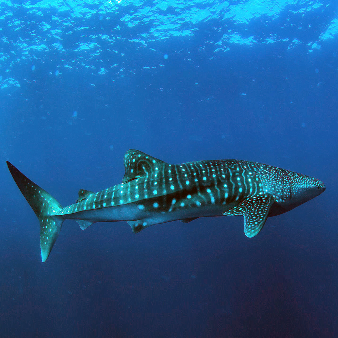 Richelieu Rock is known to attract giant, gentle whale sharks.